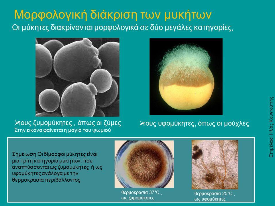 Οι μύκητες διακρίνονται μορφολογικά σε δύο μεγάλες κατηγορίες, Μορφολογική διάκριση των μυκήτων  τους ζυμομύκητες, όπως οι ζύμες Στην εικόνα φαίνεται