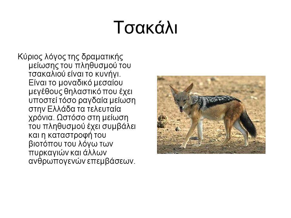 Τσακάλι Κύριος λόγος της δραματικής μείωσης του πληθυσμού του τσακαλιού είναι το κυνήγι.