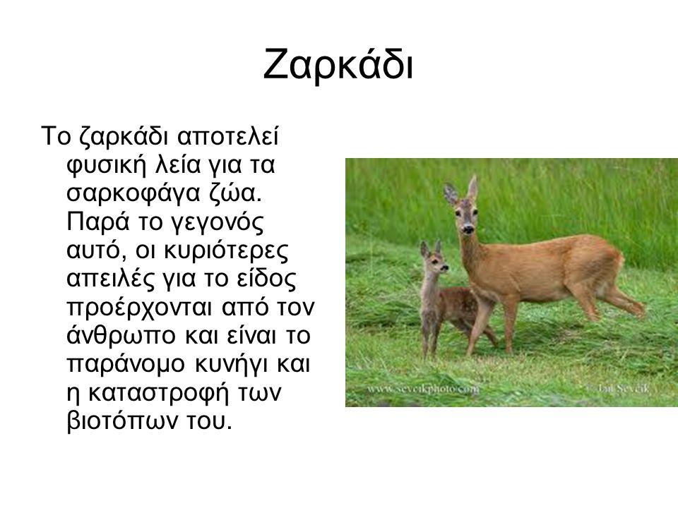 Ζαρκάδι Το ζαρκάδι αποτελεί φυσική λεία για τα σαρκοφάγα ζώα.