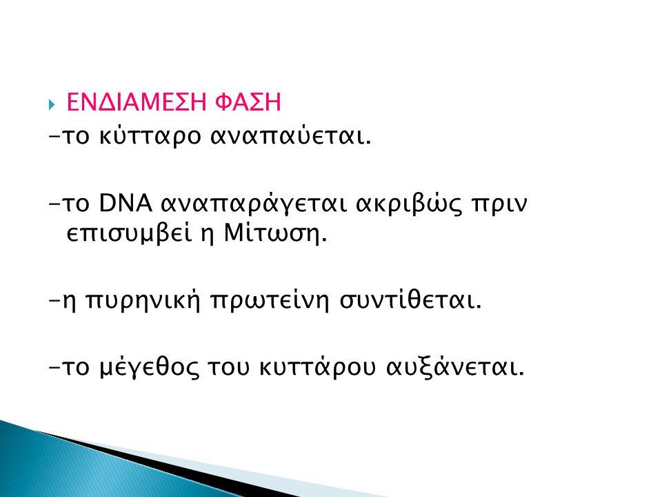  ΕΝΔΙΑΜΕΣΗ ΦΑΣΗ -το κύτταρο αναπαύεται. -το DNA αναπαράγεται ακριβώς πριν επισυμβεί η Μίτωση. -η πυρηνική πρωτείνη συντίθεται. -το μέγεθος του κυττάρ