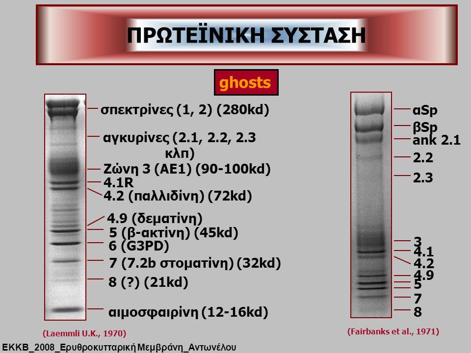 σπεκτρίνες (1, 2) (280kd) Ζώνη 3 (ΑΕ1) (90-100kd) 4.1R 4.2 (παλλιδίνη) (72kd) αγκυρίνες (2.1, 2.2, 2.3 κλπ) 4.9 (δεματίνη) 5 (β-ακτίνη) (45kd) 6 (G3PD) 7 (7.2b στοματίνη) (32kd) 8 (?) (21kd) αιμοσφαιρίνη (12-16kd) (Laemmli U.K., 1970) αSp βSp ank 2.1 2.2 2.3 3 4.1 4.2 4.9 5 7 8 (Fairbanks et al., 1971) ghosts ΠΡΩΤΕΪΝΙΚΗ ΣΥΣΤΑΣΗ ΕΚΚΒ_2008_Ερυθροκυτταρική Μεμβράνη_Αντωνέλου