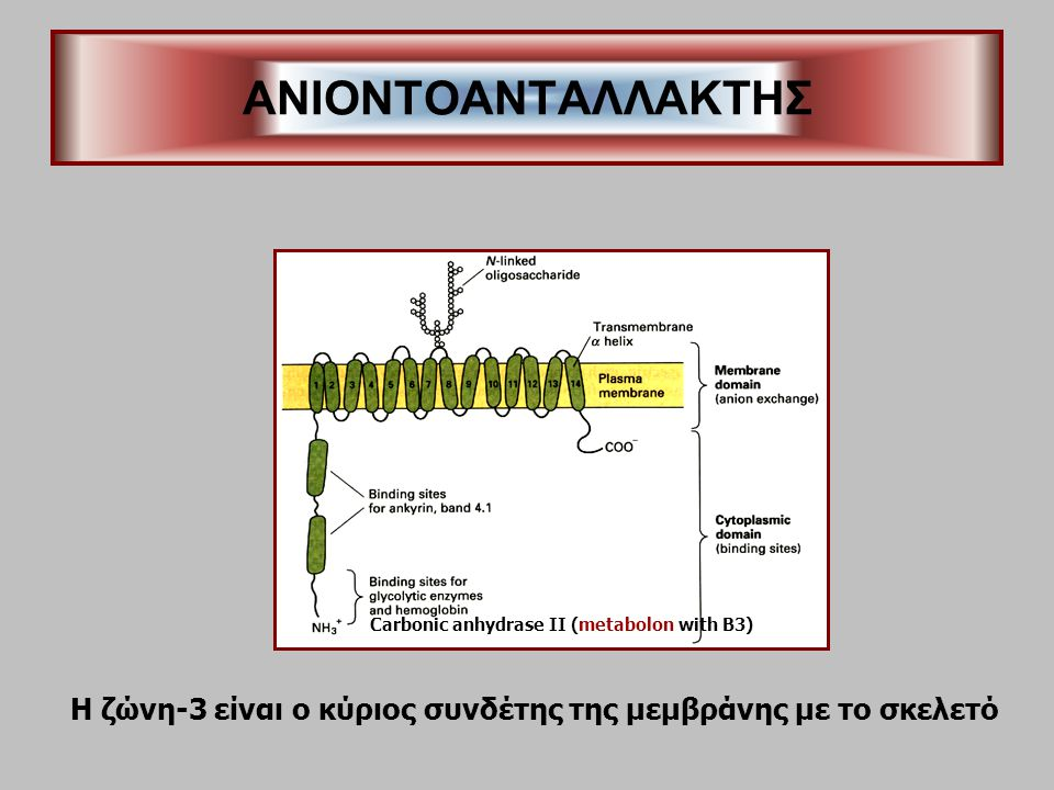 ANIONTOΑΝΤΑΛΛΑΚΤΗΣ Carbonic anhydrase II (metabolon with B3) Η ζώνη-3 είναι ο κύριος συνδέτης της μεμβράνης με το σκελετό