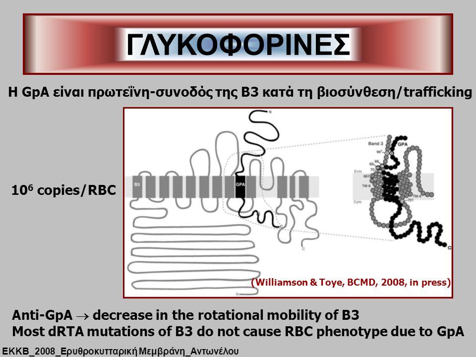 ΓΛΥΚΟΦΟΡΙΝΕΣ H GpA είναι πρωτεΐνη-συνοδός της B3 κατά τη βιοσύνθεση/trafficking (Williamson & Toye, BCMD, 2008, in press) 10 6 copies/RBC Anti-GpA  decrease in the rotational mobility of B3 Most dRTA mutations of B3 do not cause RBC phenotype due to GpA ΕΚΚΒ_2008_Ερυθροκυτταρική Μεμβράνη_Αντωνέλου