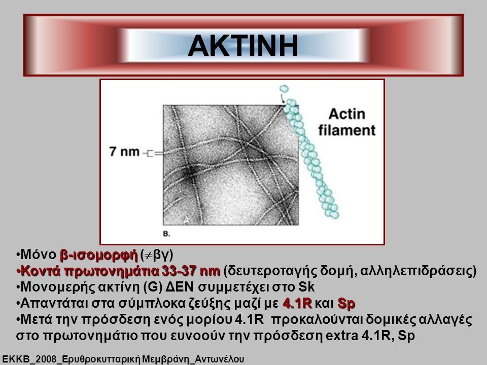 ΑΚΤΙΝΗ β-ισομορφήΜόνο β-ισομορφή (  βγ) Κοντά πρωτονημάτια 33-37 nmΚοντά πρωτονημάτια 33-37 nm (δευτεροταγής δομή, αλληλεπιδράσεις) Μονομερής ακτίνη (G) ΔΕΝ συμμετέχει στο Sk 4.1RSpAπαντάται στα σύμπλοκα ζεύξης μαζί με 4.1R και Sp Mετά την πρόσδεση ενός μορίου 4.1R προκαλούνται δομικές αλλαγές στο πρωτονημάτιο που ευνοούν την πρόσδεση extra 4.1R, Sp ΕΚΚΒ_2008_Ερυθροκυτταρική Μεμβράνη_Αντωνέλου