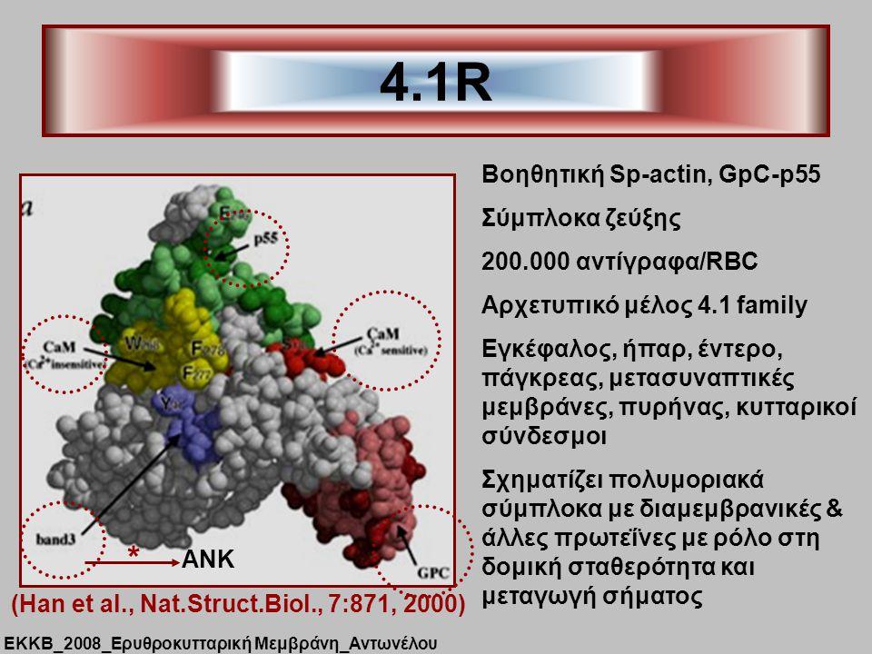 4.1R Βοηθητική Sp-actin, GpC-p55 Σύμπλοκα ζεύξης 200.000 αντίγραφα/RBC Aρχετυπικό μέλος 4.1 family Eγκέφαλος, ήπαρ, έντερο, πάγκρεας, μετασυναπτικές μεμβράνες, πυρήνας, κυτταρικοί σύνδεσμοι Σχηματίζει πολυμοριακά σύμπλοκα με διαμεμβρανικές & άλλες πρωτεΐνες με ρόλο στη δομική σταθερότητα και μεταγωγή σήματος (Han et al., Nat.Struct.Biol., 7:871, 2000) ΑΝΚ * ΕΚΚΒ_2008_Ερυθροκυτταρική Μεμβράνη_Αντωνέλου