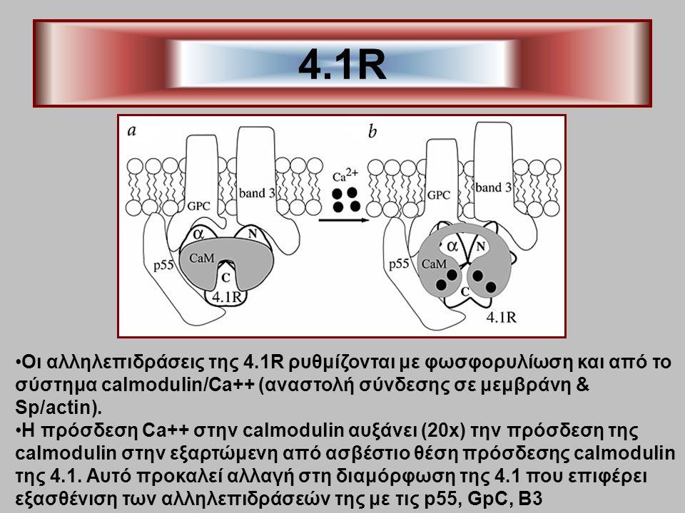 4.1R Οι αλληλεπιδράσεις της 4.1R ρυθμίζονται με φωσφορυλίωση και από το σύστημα calmodulin/Ca++ (αναστολή σύνδεσης σε μεμβράνη & Sp/actin). H πρόσδεση