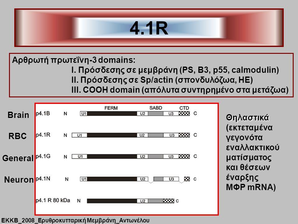 4.1R Aρθρωτή πρωτεΐνη-3 domains: Ι.Πρόσδεσης σε μεμβράνη (PS, B3, p55, calmodulin) ΙΙ.