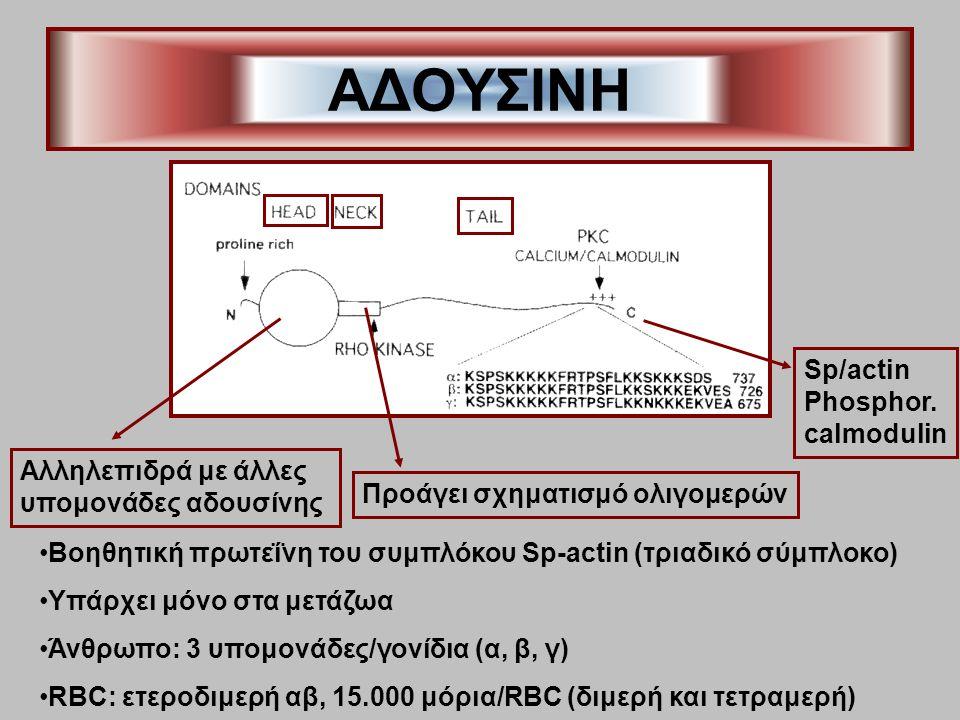 ΑΔΟΥΣΙΝΗ Βοηθητική πρωτεΐνη του συμπλόκου Sp-actin (τριαδικό σύμπλοκο) Υπάρχει μόνο στα μετάζωα Άνθρωπο: 3 υπομονάδες/γονίδια (α, β, γ) RBC: ετεροδιμερή αβ, 15.000 μόρια/RBC (διμερή και τετραμερή) Αλληλεπιδρά με άλλες υπομονάδες αδουσίνης Προάγει σχηματισμό ολιγομερών Sp/actin Phosphor.