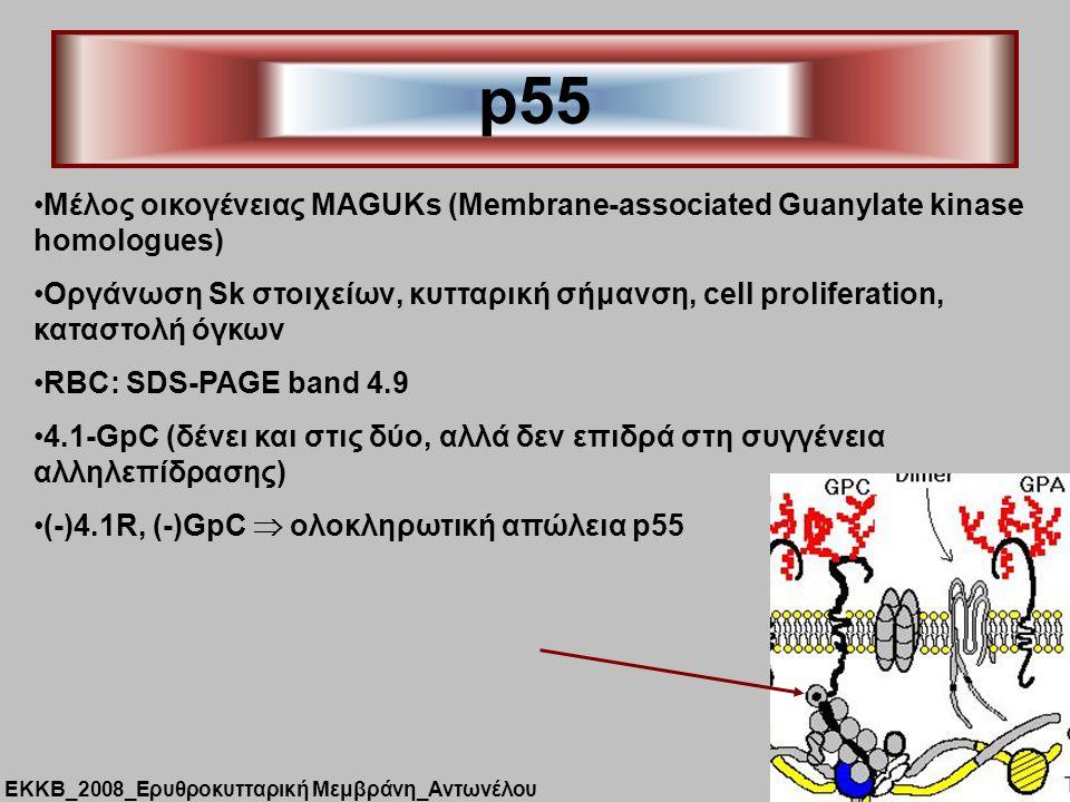 p55 Μέλος οικογένειας MAGUKs (Membrane-associated Guanylate kinase homologues) Οργάνωση Sk στοιχείων, κυτταρική σήμανση, cell proliferation, καταστολή όγκων RBC: SDS-PAGE band 4.9 4.1-GpC (δένει και στις δύο, αλλά δεν επιδρά στη συγγένεια αλληλεπίδρασης) (-)4.1R, (-)GpC  ολοκληρωτική απώλεια p55