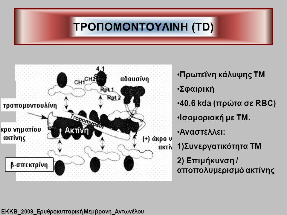 ΤΡΟΠΟΜΟΝΤΟΥΛΙΝΗ (TD) Πρωτεΐνη κάλυψης ΤΜ Σφαιρική 40.6 kda (πρώτα σε RBC) Iσομοριακή με ΤΜ. Αναστέλλει: 1)Συνεργατικότητα ΤΜ 2) Επιμήκυνση / αποπολυμε