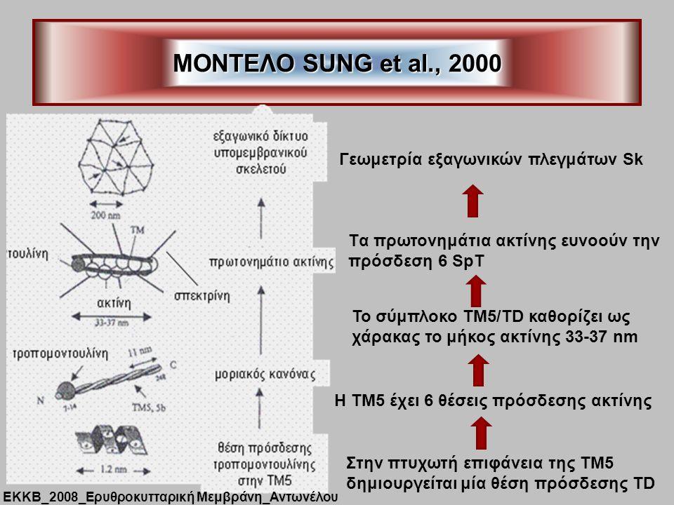 ΜΟΝΤΕΛΟ SUNG et al., 2000 Στην πτυχωτή επιφάνεια της ΤΜ5 δημιουργείται μία θέση πρόσδεσης ΤD Η ΤΜ5 έχει 6 θέσεις πρόσδεσης ακτίνης Το σύμπλοκο ΤΜ5/TD καθορίζει ως χάρακας το μήκος ακτίνης 33-37 nm Tα πρωτονημάτια ακτίνης ευνοούν την πρόσδεση 6 SpT Γεωμετρία εξαγωνικών πλεγμάτων Sk ΕΚΚΒ_2008_Ερυθροκυτταρική Μεμβράνη_Αντωνέλου