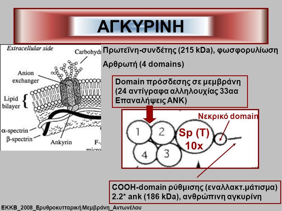 ΑΓΚΥΡΙΝΗ Πρωτεΐνη-συνδέτης (215 kDa), φωσφορυλίωση Αρθρωτή (4 domains) Sp (T) 10x Domain πρόσδεσης σε μεμβράνη (24 αντίγραφα αλληλουχίας 33αα Επαναλήψεις ΑΝΚ) Nεκρικό domain COOH-domain ρύθμισης (εναλλακτ.μάτισμα) 2.2* ank (186 kDa), ανθρώπινη αγκυρίνη ΕΚΚΒ_2008_Ερυθροκυτταρική Μεμβράνη_Αντωνέλου