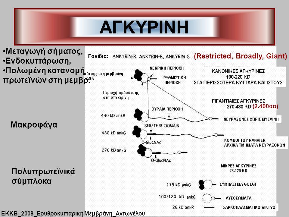 ΑΓΚΥΡΙΝΗ (Restricted, Broadly, Giant) Μεταγωγή σήματος, Ενδοκυττάρωση, Πολωμένη κατανομή πρωτεϊνών στη μεμβρ. Μακροφάγα (2.400αα) Πολυπρωτεϊνικά σύμπλ