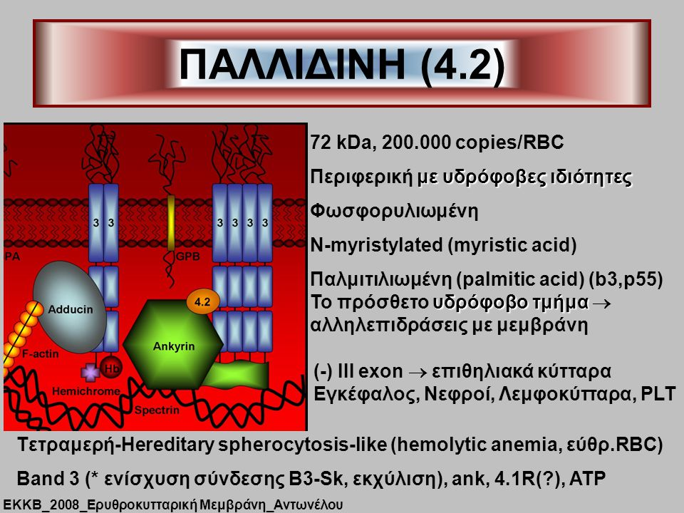 ΠΑΛΛΙΔΙΝΗ (4.2) 72 kDa, 200.000 copies/RBC με υδρόφοβες ιδιότητες Περιφερική με υδρόφοβες ιδιότητες Φωσφορυλιωμένη Ν-myristylated (myristic acid) Παλμιτιλιωμένη (palmitic acid) (b3,p55) υδρόφοβο τμήμα Το πρόσθετο υδρόφοβο τμήμα  αλληλεπιδράσεις με μεμβράνη (-) ΙΙΙ exon  επιθηλιακά κύτταρα Εγκέφαλος, Νεφροί, Λεμφοκύτταρα, PLT Tετραμερή-Hereditary spherocytosis-like (hemolytic anemia, εύθρ.RBC) Band 3 (* ενίσχυση σύνδεσης Β3-Sk, εκχύλιση), ank, 4.1R(?), ΑΤΡ ΕΚΚΒ_2008_Ερυθροκυτταρική Μεμβράνη_Αντωνέλου
