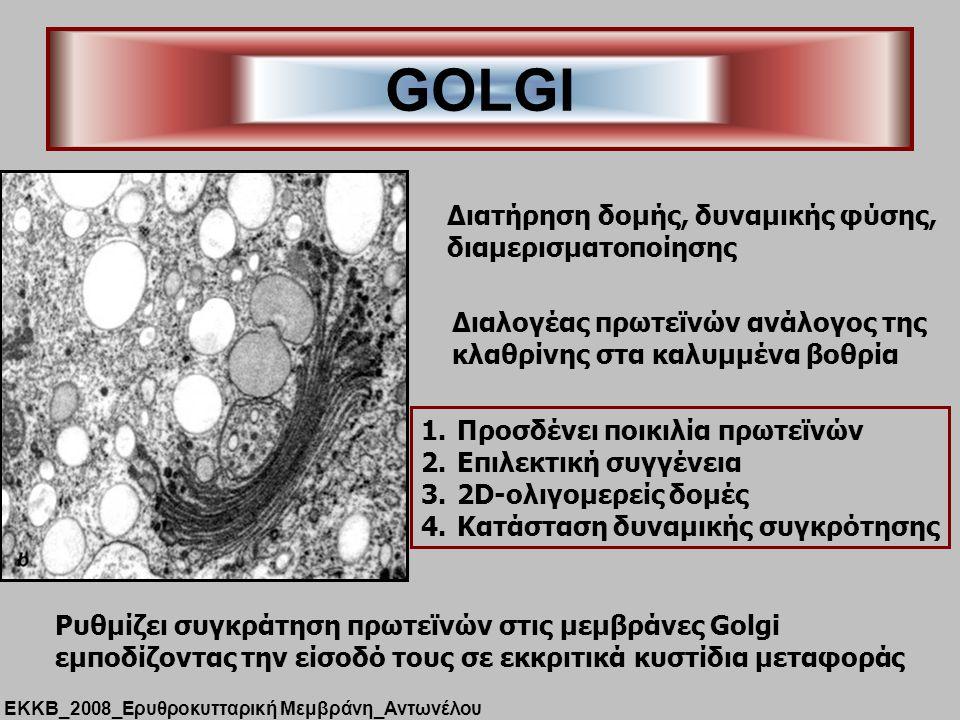 GOLGI Διατήρηση δομής, δυναμικής φύσης, διαμερισματοποίησης Διαλογέας πρωτεϊνών ανάλογος της κλαθρίνης στα καλυμμένα βοθρία 1.Προσδένει ποικιλία πρωτεϊνών 2.Επιλεκτική συγγένεια 3.2D-ολιγομερείς δομές 4.Κατάσταση δυναμικής συγκρότησης Ρυθμίζει συγκράτηση πρωτεϊνών στις μεμβράνες Golgi εμποδίζοντας την είσοδό τους σε εκκριτικά κυστίδια μεταφοράς ΕΚΚΒ_2008_Ερυθροκυτταρική Μεμβράνη_Αντωνέλου