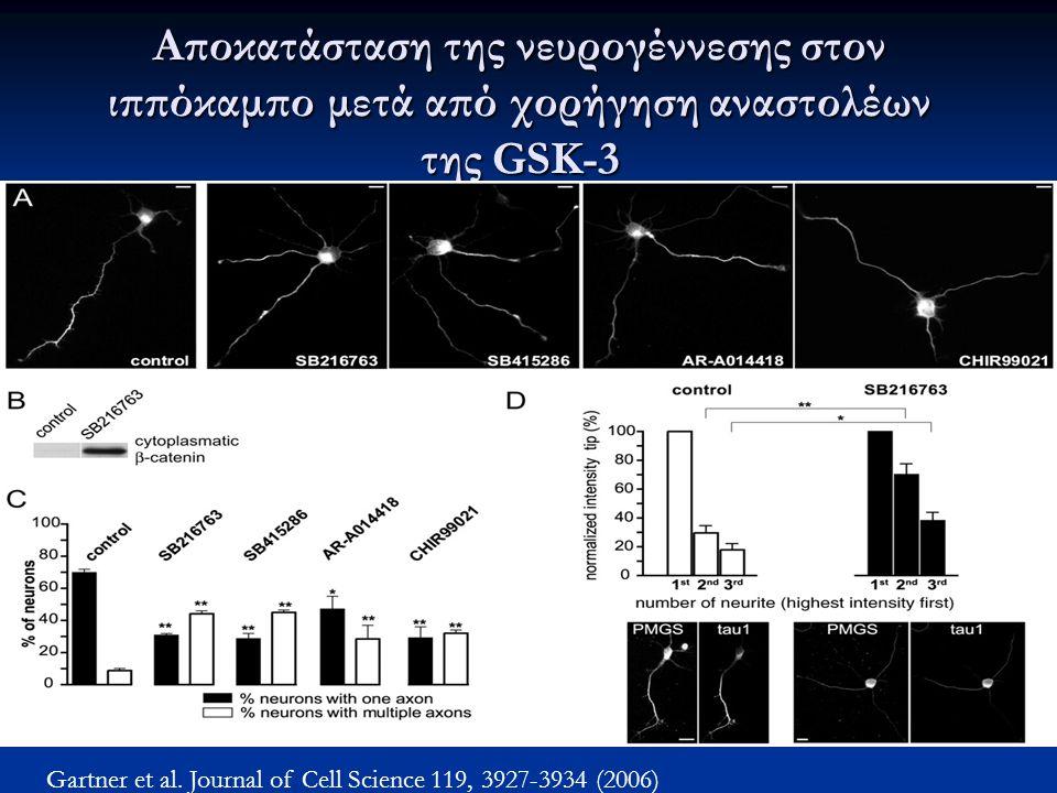 Αποκατάσταση της νευρογέννεσης στον ιππόκαμπο μετά από χορήγηση αναστολέων της GSK-3 Gartner et al. Journal of Cell Science 119, 3927-3934 (2006)