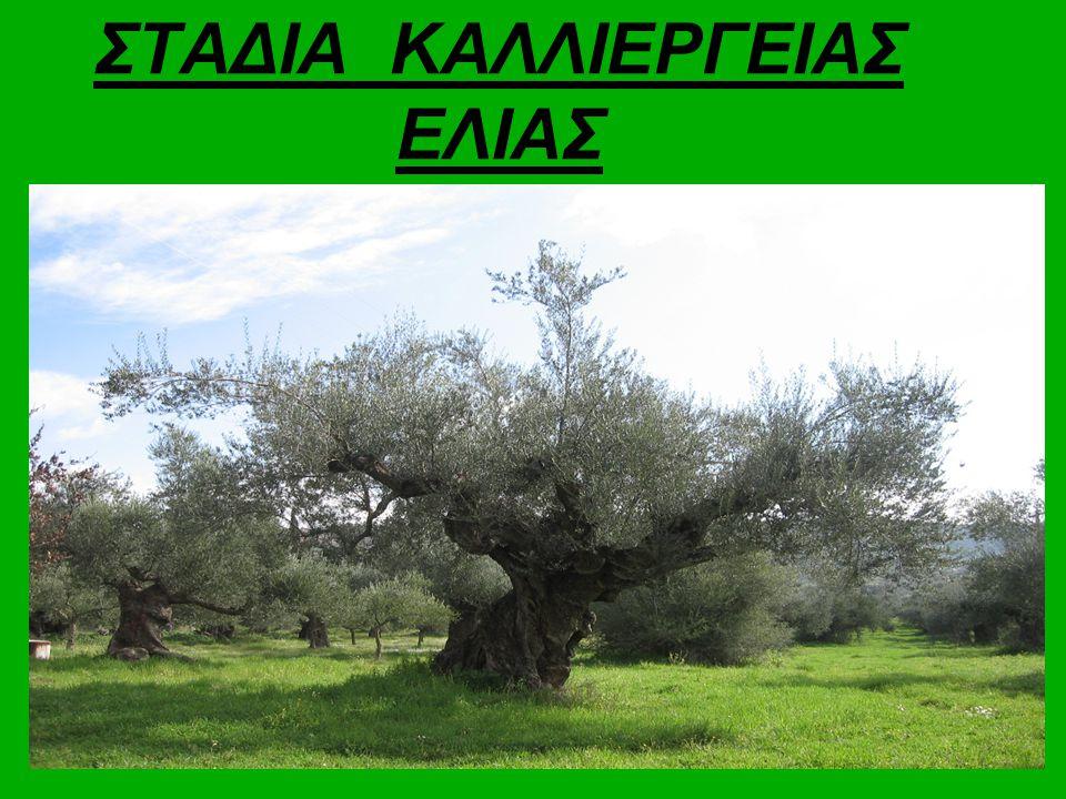 Κλάδεμα καρποφορίας στα παραγωγικά δένδρα Σκοπός του κλαδέματος είναι η εξασφάλιση όσο το δυνατό σταθερής απόδοσης των δένδρων και καλής ποιότητας καρπού (ειδικά όσον αφορά τις επιτραπέζιες ποικιλίες).