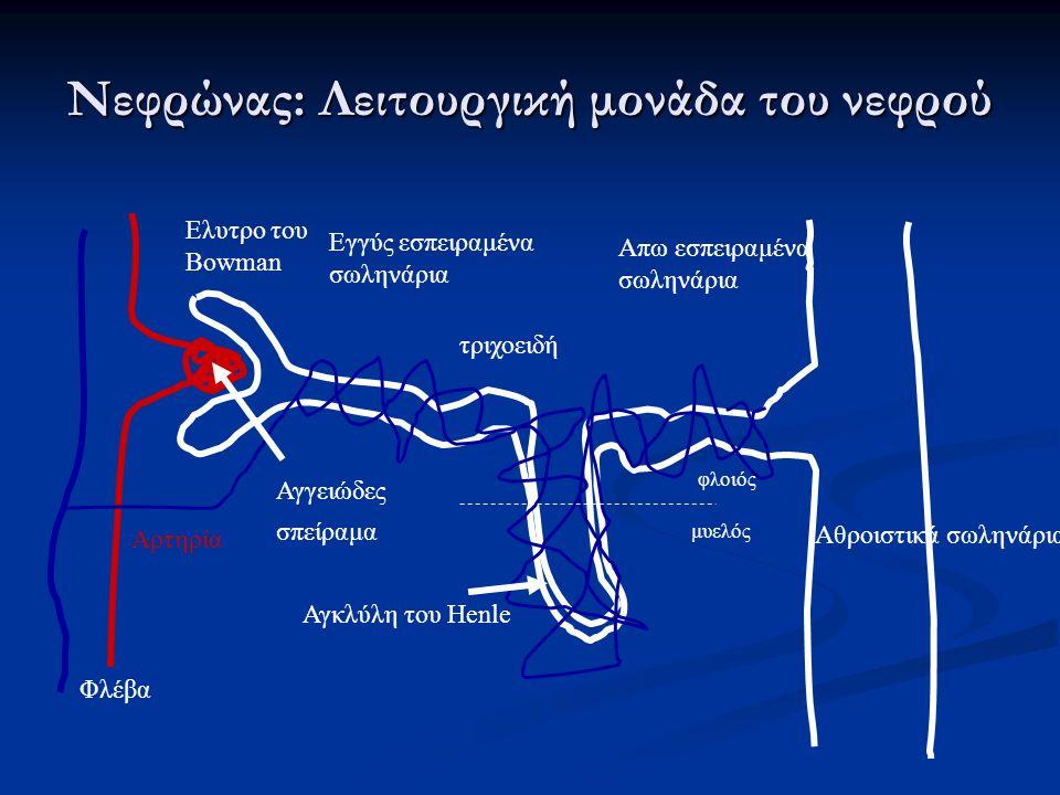 Νεφρώνας: Λειτουργική μονάδα του νεφρού Ελυτρο του Bowman Αγγειώδες σπείραμα Εγγύς εσπειραμένα σωληνάρια Απω εσπειραμένα σωληνάρια Αγκλύλη του Henle φ