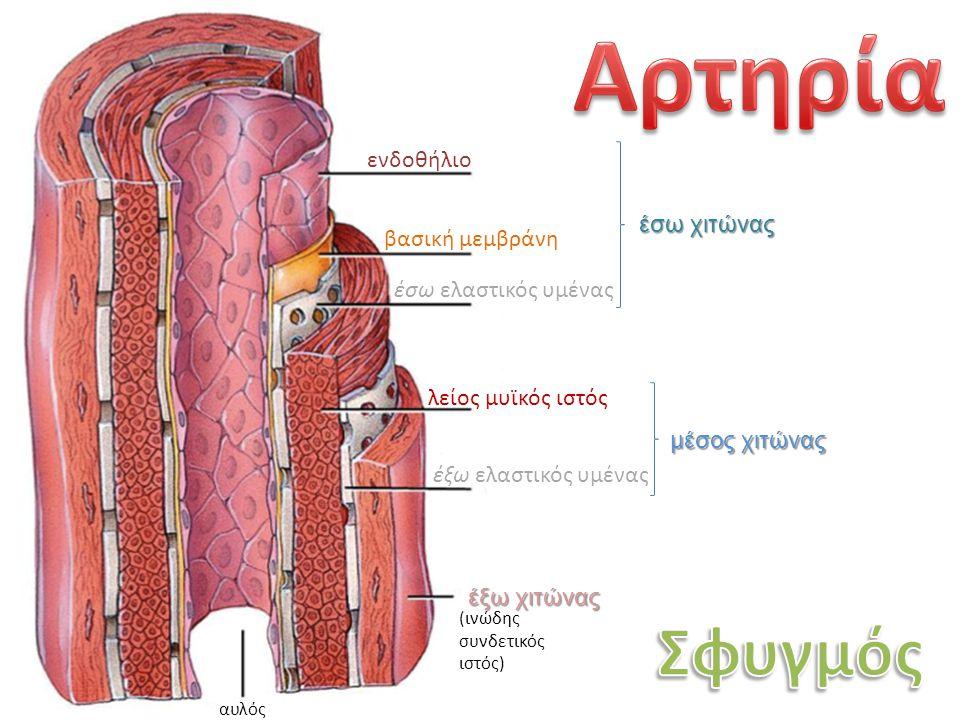 ενδοθήλιο βασική μεμβράνη έσω ελαστικός υμένας λείος μυϊκός ιστός έξω ελαστικός υμένας έξω χιτώνας έσω χιτώνας μέσος χιτώνας αυλός (ινώδης συνδετικός ιστός)