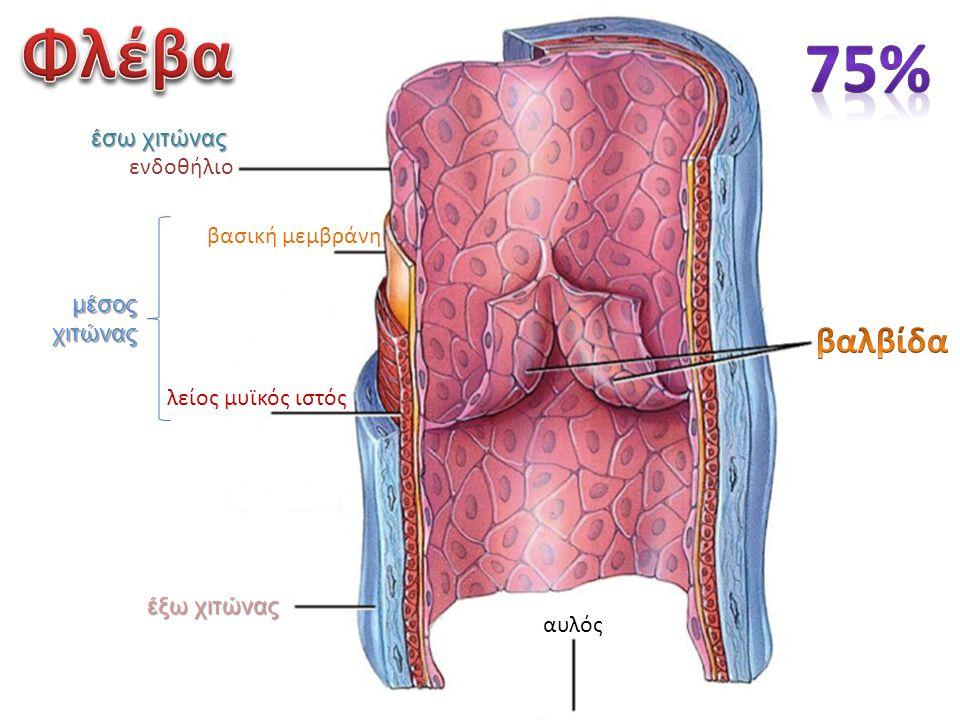 αυλός έξω χιτώνας λείος μυϊκός ιστός ενδοθήλιο βασική μεμβράνη έσω χιτώνας μέσος χιτώνας