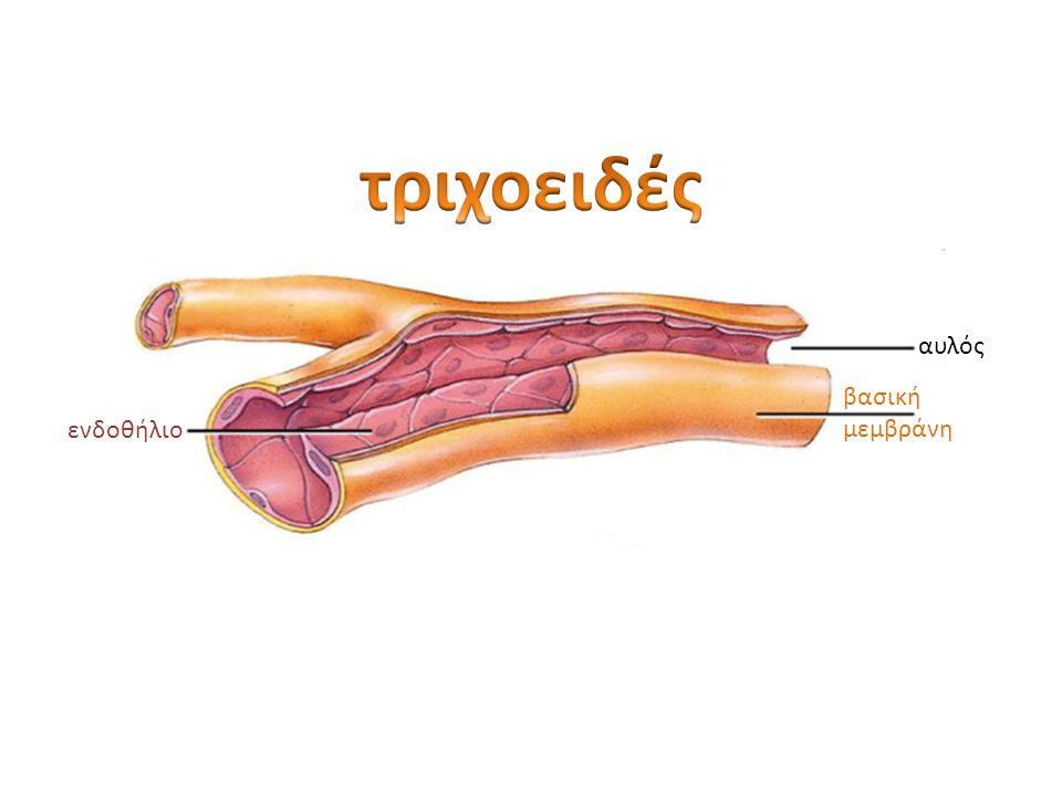 αυλός ενδοθήλιο βασική μεμβράνη