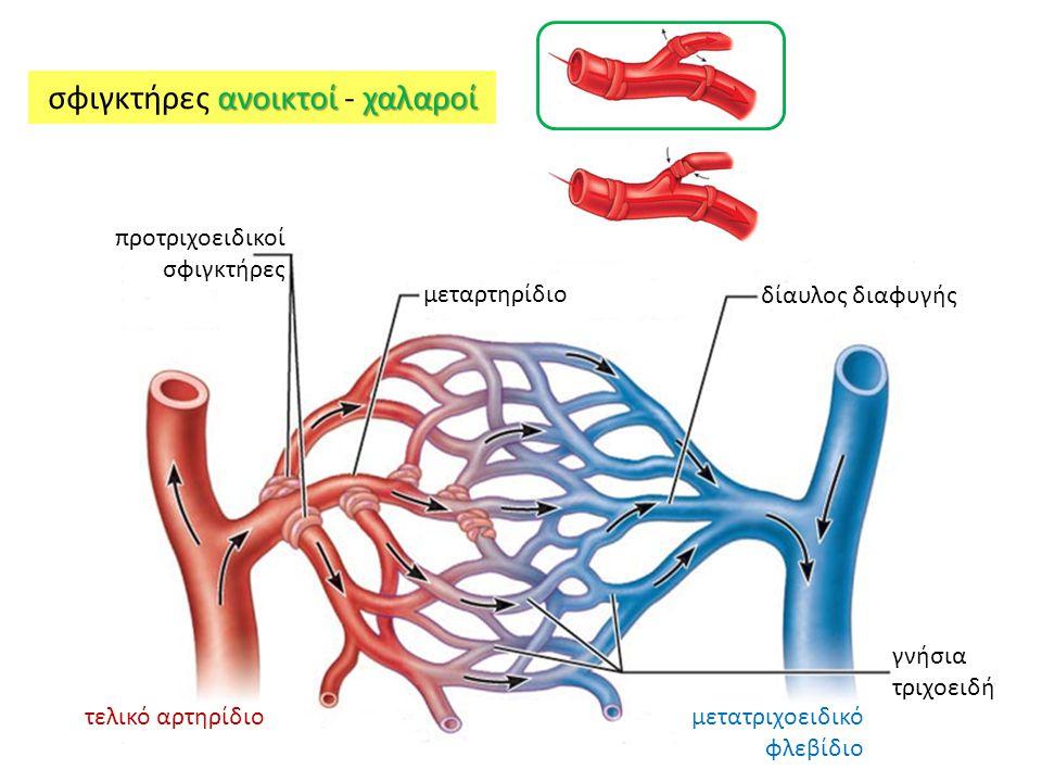 προτριχοειδικοί σφιγκτήρες μεταρτηρίδιο τελικό αρτηρίδιο γνήσια τριχοειδή μετατριχοειδικό φλεβίδιο δίαυλος διαφυγής ανοικτοί χαλαροί σφιγκτήρες ανοικτοί - χαλαροί
