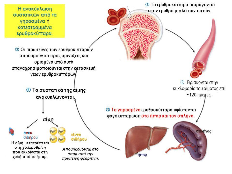  Τα ερυθροκύτταρα παράγονται στον ερυθρό μυελό των οστών.  Βρίσκονται στην κυκλοφορία του αίματος επί ~120 ημέρες.  Τα γηρασμένα ερυθροκύτταρα υφίσ