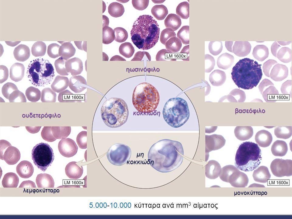 κοκκιώδη μη κοκκιώδη λεμφοκύτταρο μονοκύτταρο βασεόφιλο ουδετερόφιλο ηωσινόφιλο 5.000-10.000 κύτταρα ανά mm 3 αίματος