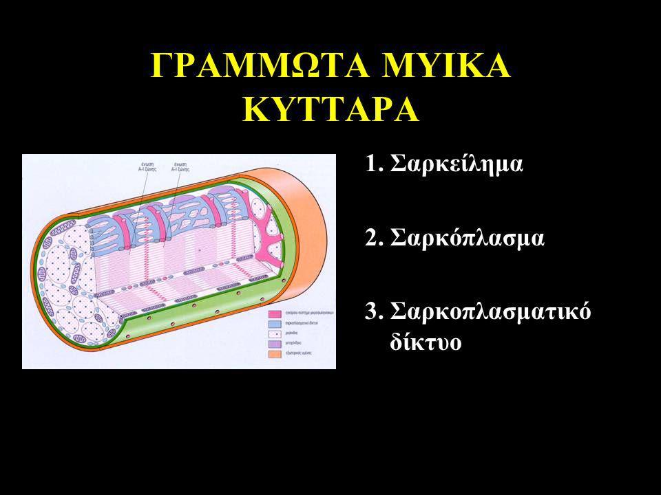 ΓΡΑΜΜΩΤΑ ΜΥΙΚΑ ΚΥΤΤΑΡΑ 1. Σαρκείλημα 2. Σαρκόπλασμα 3. Σαρκοπλασματικό δίκτυο