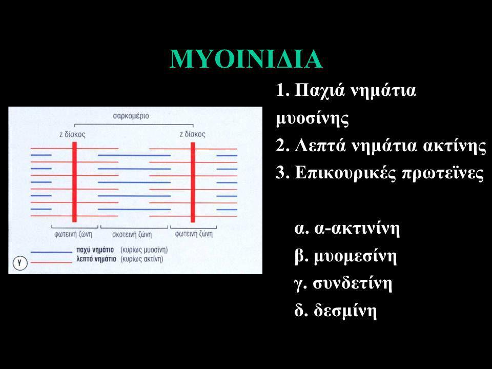 ΜΥΟΙΝΙΔΙΑ 1. Παχιά νημάτια μυοσίνης 2. Λεπτά νημάτια ακτίνης 3. Επικουρικές πρωτεϊνες α. α-ακτινίνη β. μυομεσίνη γ. συνδετίνη δ. δεσμίνη