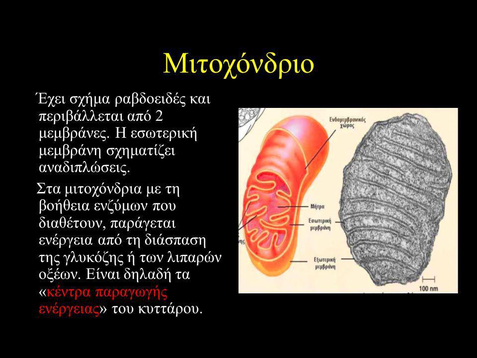 Μιτοχόνδριο Έχει σχήμα ραβδοειδές και περιβάλλεται από 2 μεμβράνες. Η εσωτερική μεμβράνη σχηματίζει αναδιπλώσεις. Στα μιτοχόνδρια με τη βοήθεια ενζύμω