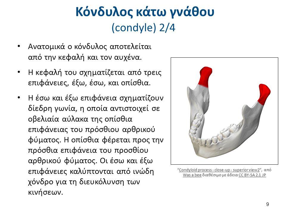 Κόνδυλος κάτω γνάθου (condyle) 2/4 Ανατομικά ο κόνδυλος αποτελείται από την κεφαλή και τον αυχένα. Η κεφαλή του σχηματίζεται από τρεις επιφάνειες, έξω