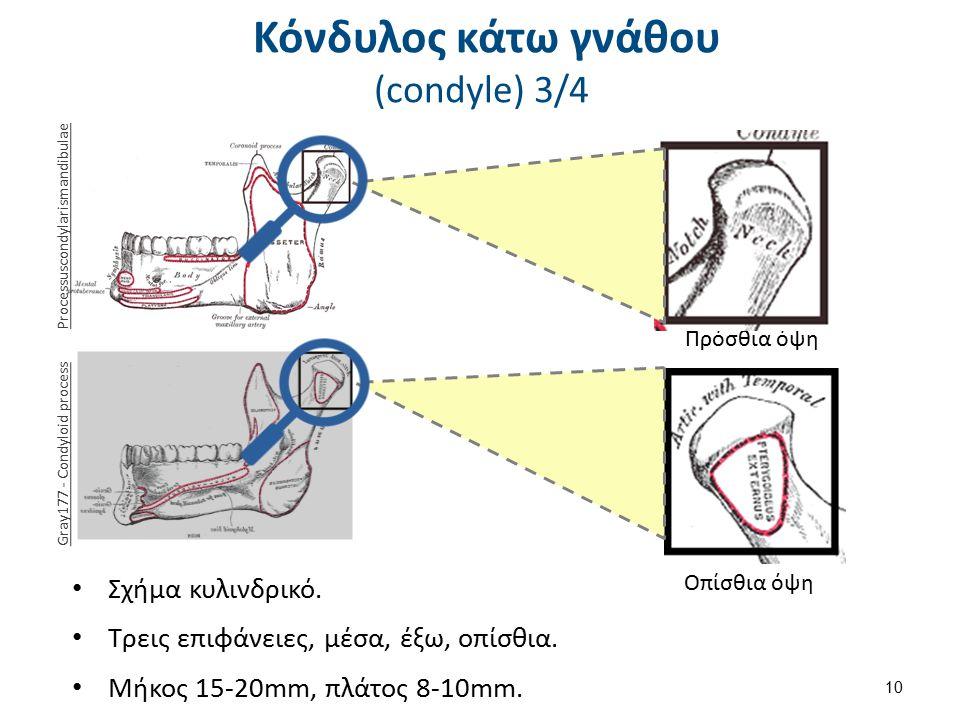 Πρόσθια όψη Οπίσθια όψη Κόνδυλος κάτω γνάθου (condyle) 3/4 Σχήμα κυλινδρικό. Τρεις επιφάνειες, μέσα, έξω, οπίσθια. Μήκος 15-20mm, πλάτος 8-10mm. 10 Pr