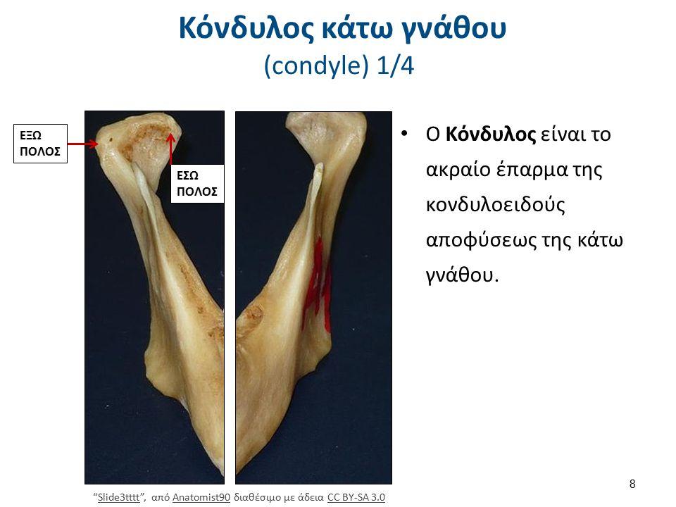 """Κόνδυλος κάτω γνάθου (condyle) 1/4 Ο Κόνδυλος είναι το ακραίο έπαρμα της κονδυλοειδούς αποφύσεως της κάτω γνάθου. 8 ΕΞΩ ΠΟΛΟΣ ΕΣΩ ΠΟΛΟΣ """"Slide3tttt"""","""