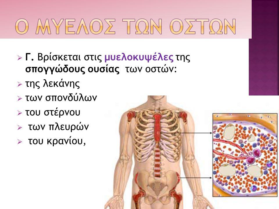  Γ. Βρίσκεται στις μυελοκυψέλες της σπογγώδους ουσίας των οστών:  της λεκάνης  των σπονδύλων  του στέρνου  των πλευρών  του κρανίου,