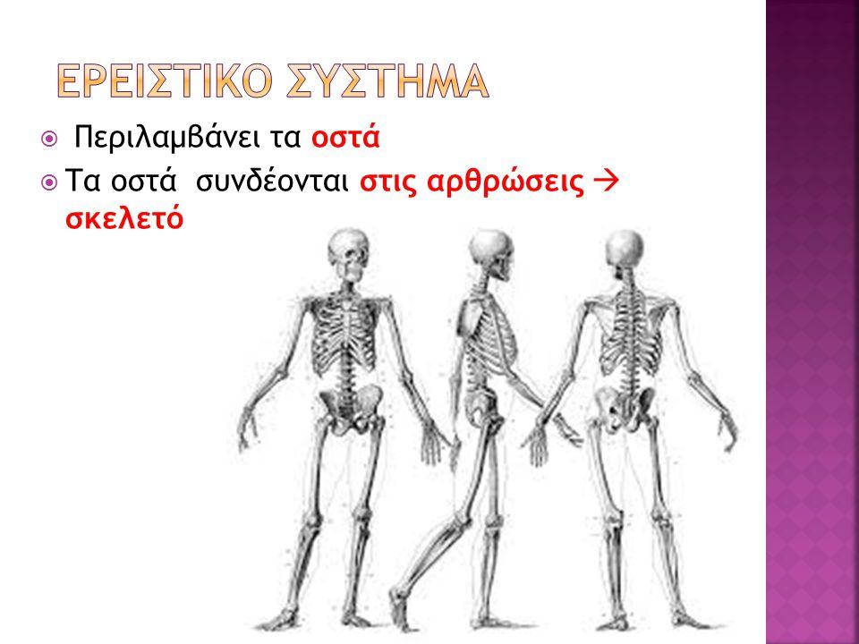1.Στήριξη σώματος 2. Καθορισμός της μορφής 3. Προστασία οργάνων (σχηματίζει κοιλότητες) 4.