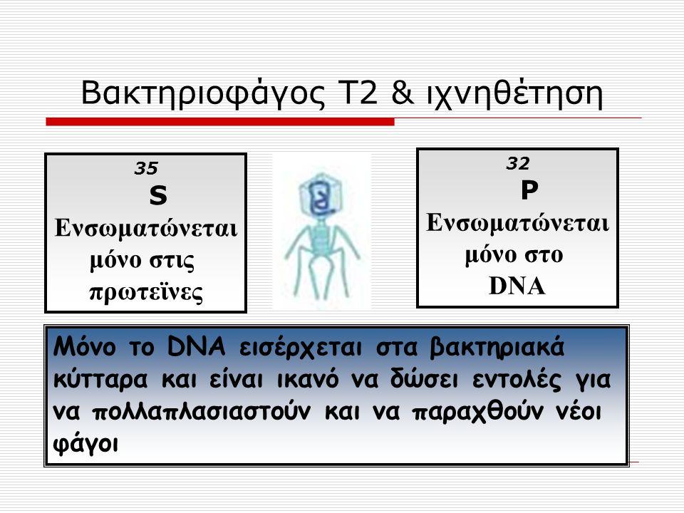 Βακτηριοφάγος Τ2 & ιχνηθέτηση 35 S Ενσωματώνεται μόνο στις πρωτεϊνες 32 P Ενσωματώνεται μόνο στο DNA Μόνο το DNA εισέρχεται στα βακτηριακά κύτταρα και