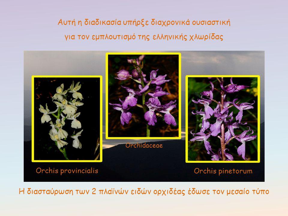 Αυτή η διαδικασία υπήρξε διαχρονικά ουσιαστική για τον εμπλουτισμό της ελληνικής χλωρίδας Orchis provincialis Orchis pinetorum Orchidaceae Η διασταύρω