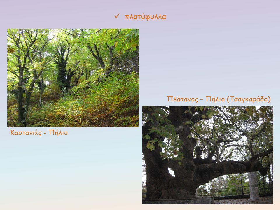 πλατύφυλλα Καστανιές - Πήλιο Πλάτανος – Πήλιο (Τσαγκαράδα)