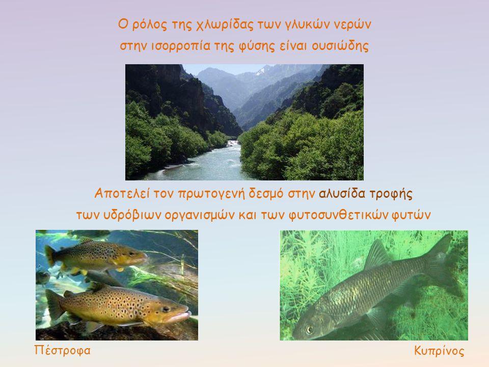 Ο ρόλος της χλωρίδας των γλυκών νερών στην ισορροπία της φύσης είναι ουσιώδης Πέστροφα Κυπρίνος Αποτελεί τον πρωτογενή δεσμό στην αλυσίδα τροφής των υ