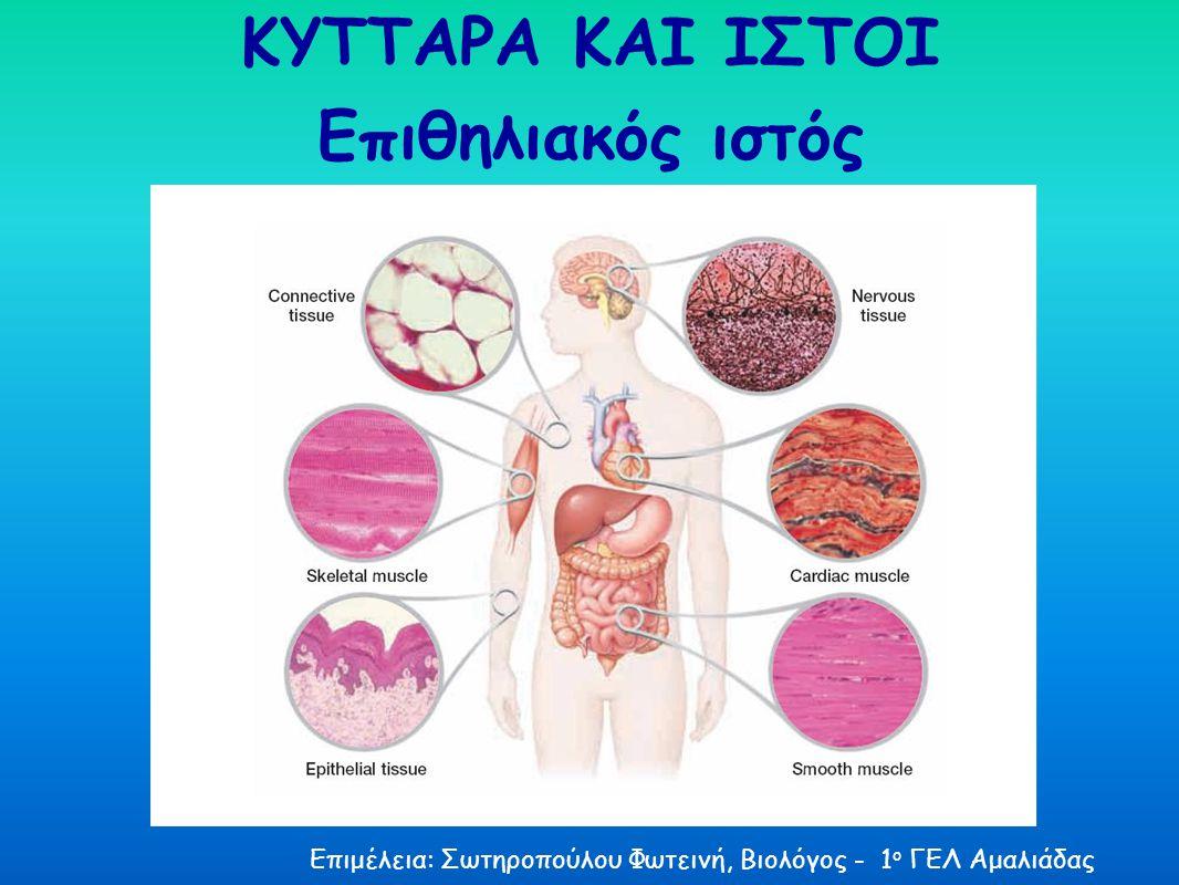 ΚΥΤΤΑΡΑ ΚΑΙ ΙΣΤΟΙ Επιθηλιακός ιστός Επιμέλεια: Σωτηροπούλου Φωτεινή, Βιολόγος - 1 ο ΓΕΛ Αμαλιάδας