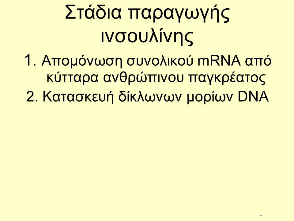 Στάδια παραγωγής ινσουλίνης 1. Απομόνωση συνολικού mRNA από κύτταρα ανθρώπινου παγκρέατος 2. Κατασκευή δίκλωνων μορίων DNA mRNA DNA Αντίστροφη μεταγρα