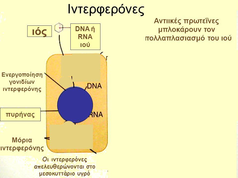 ιός DNA ή RNA ιού Ενεργοποίηση γονιδίων ιντερφερόνης πυρήνας Μόρια ιντερφερόνης Αντιικές πρωτεΐνες μπλοκάρουν τον πολλαπλασιασμό του ιού Η ιντερφερόνη