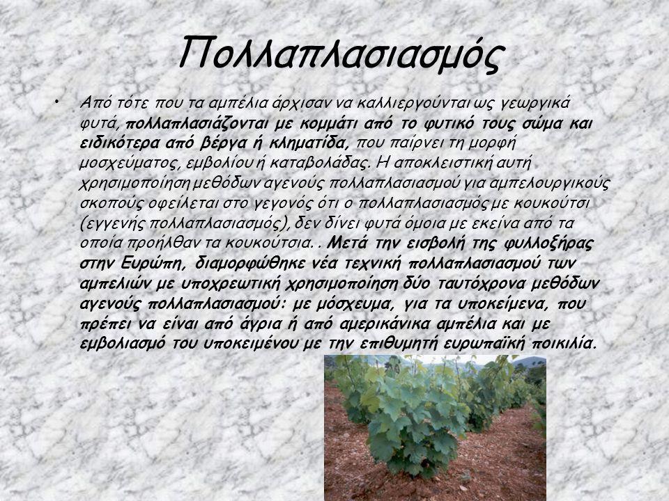 Πολλαπλασιασμός Από τότε που τα αμπέλια άρχισαν να καλλιεργούνται ως γεωργικά φυτά, πολλαπλασιάζονται με κομμάτι από το φυτικό τους σώμα και ειδικότερ