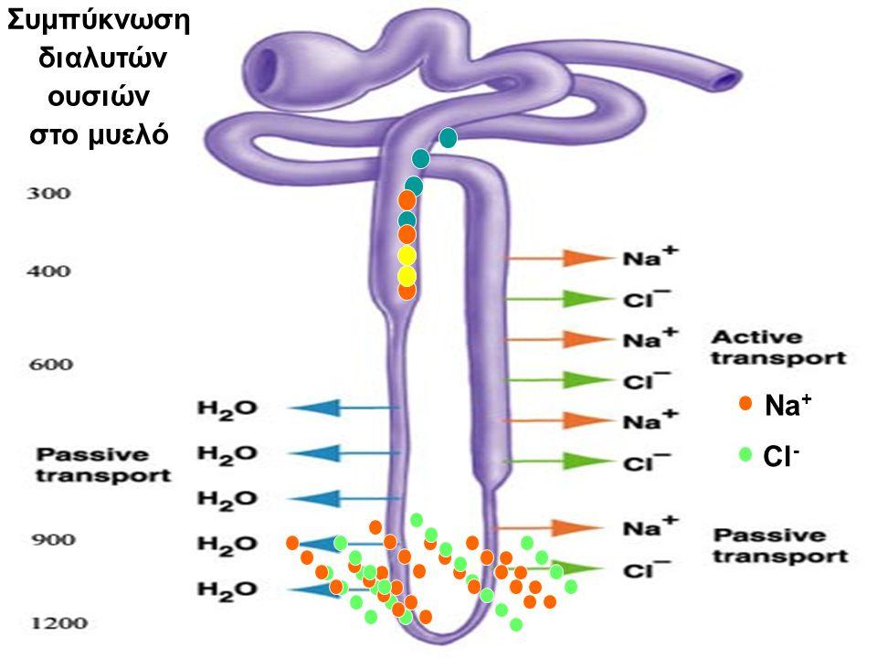 Συμπύκνωση διαλυτών ουσιών στο μυελό Na + Cl -