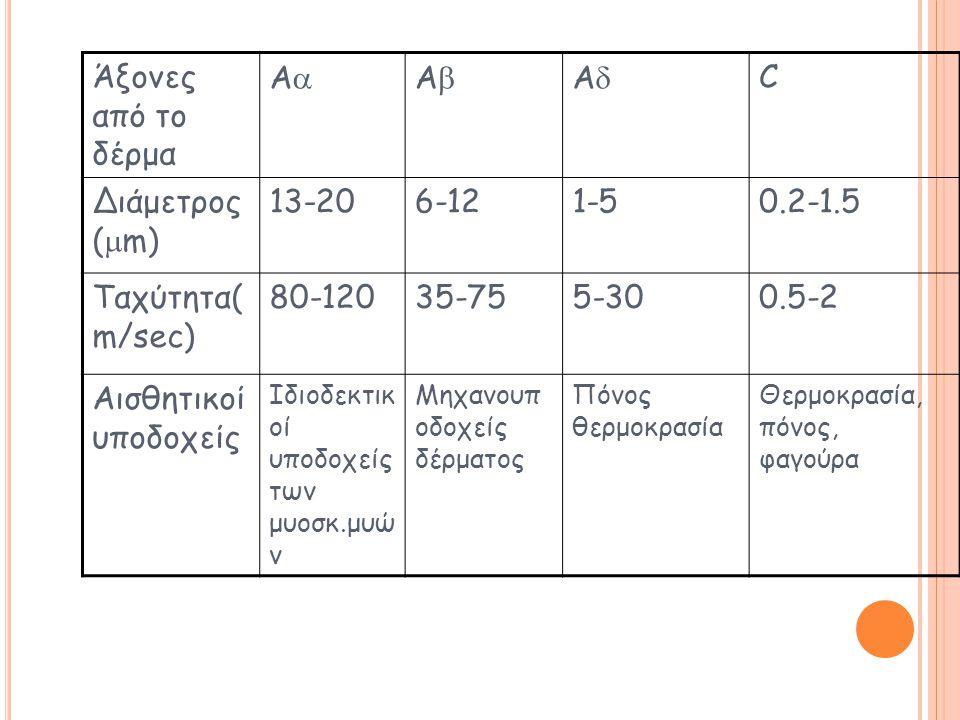 Άξονες από το δέρμα AA AA AA C Διάμετρος (  m) 13-206-121-50.2-1.5 Ταχύτητα( m/sec) 80-12035-755-300.5-2 Αισθητικοί υποδοχείς Ιδιοδεκτικ οί υποδοχείς των μυοσκ.μυώ ν Μηχανουπ οδοχείς δέρματος Πόνος θερμοκρασία Θερμοκρασία, πόνος, φαγούρα