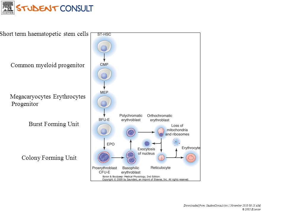 Downloaded from: StudentConsult (on 1 November 2010 09:13 AM) © 2005 Elsevier Short term haematopetic stem cells Common myeloid progenitor Megacaryocy