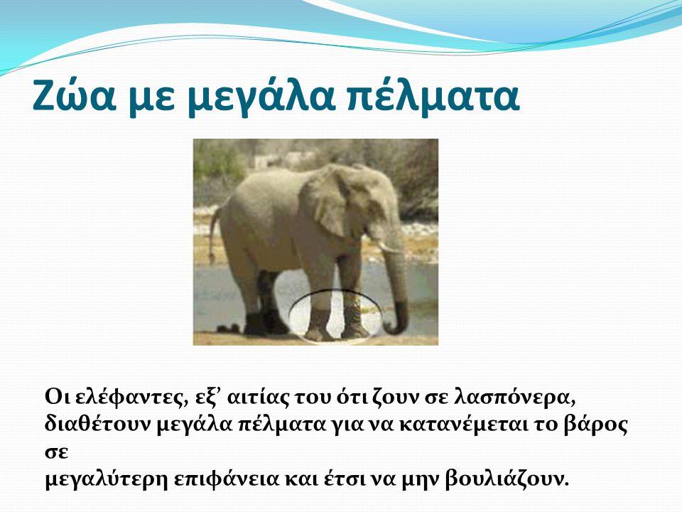 Ζώα με μεγάλα πέλματα Οι ελέφαντες, εξ' αιτίας του ότι ζουν σε λασπόνερα, διαθέτουν μεγάλα πέλματα για να κατανέμεται το βάρος σε μεγαλύτερη επιφάνεια και έτσι να μην βουλιάζουν.