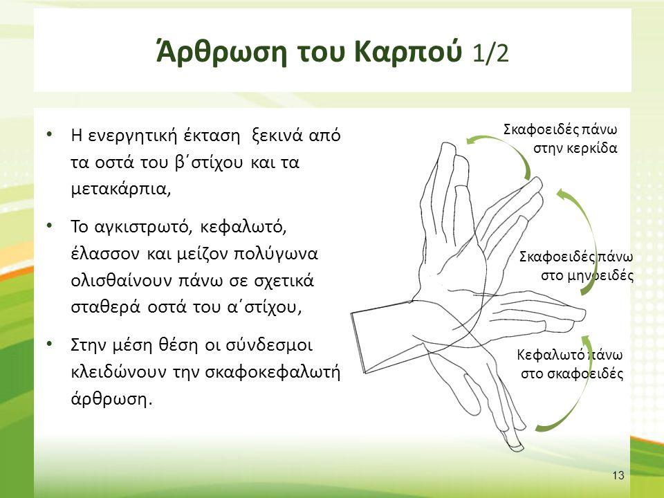 Άρθρωση του Καρπού 1/2 Η ενεργητική έκταση ξεκινά από τα οστά του β΄στίχου και τα μετακάρπια, Το αγκιστρωτό, κεφαλωτό, έλασσον και μείζον πολύγωνα ολι