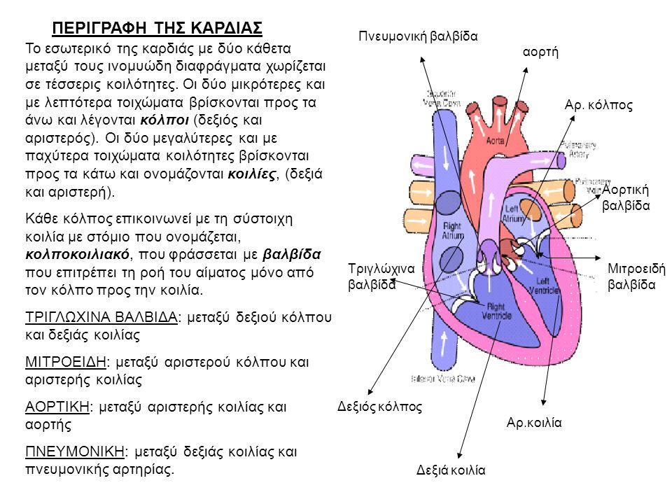Το εσωτερικό της καρδιάς με δύο κάθετα μεταξύ τους ινομυώδη διαφράγματα χωρίζεται σε τέσσερις κοιλότητες.